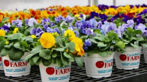 Cape Abilities Farm Opening & Free Pansy Day
